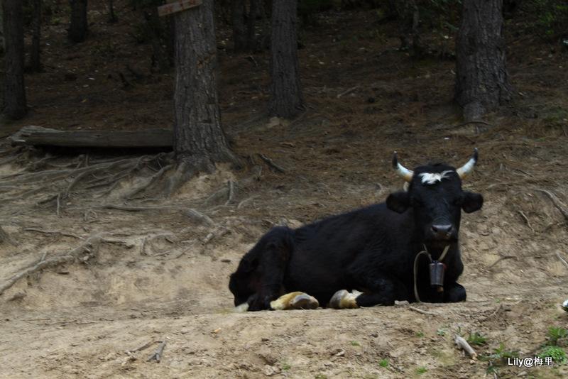 温顺的小牛.jpg