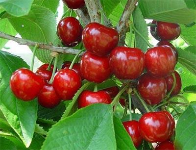 美早樱桃图片1