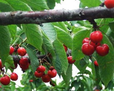 巴厘樱桃采摘园2