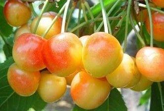 8-102樱桃