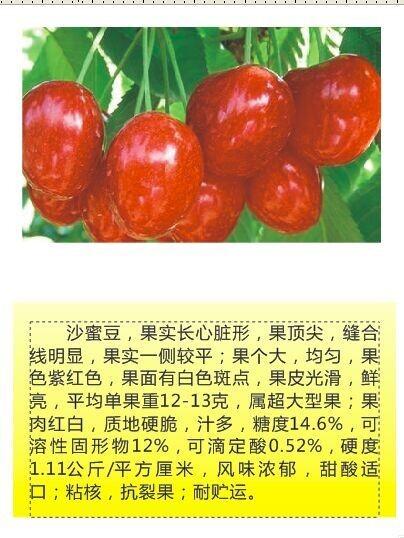 年鑫樱桃园品种—沙密豆